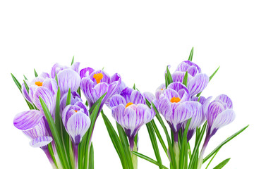 Photo sur Plexiglas Crocus Violet crocus fresh flowers isolated on white background