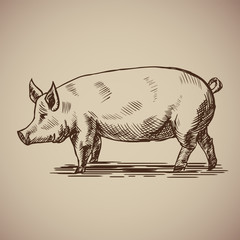 Pig in sketch style. Illustration livestock drawn by hand. Farm animals on gray background.