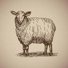 Sheep in sketch style. Illustration livestock drawn by hand. Farm animals on gray background.