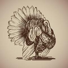 Bird turkey in sketch style. Illustration livestock drawn by hand. Farm animals on gray background.