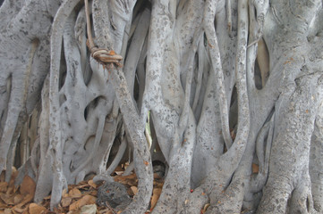 Twisted air roots of a fig tree trunk,