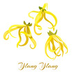 Ylang-Ylang tropical flower (Cananga odorata). Vector illustration