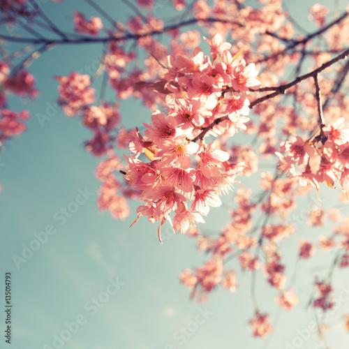 Wall mural Vintage cherry blossom - sakura flower. nature background  (retro filter effect color)
