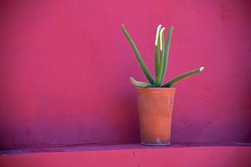 Kleiner Schlangenkaktus im Blumentopf vor einer pink gestrichenen Wand