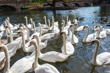Swans in the river in Stratford-upon-Avon