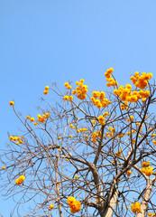Cochlospermum  regium or Yellow cotton tree