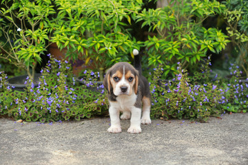 purebred beagle puppy is learning the world in first time