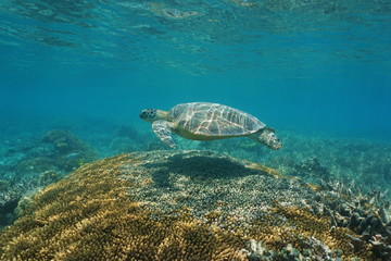 A green sea turtle with coral under the sea, south Pacific ocean, New Caledonia