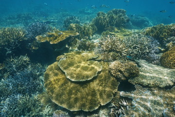 Coral reef underwater in shallow water of the lagoon of Grande Terre island, south Pacific ocean, New Caledonia