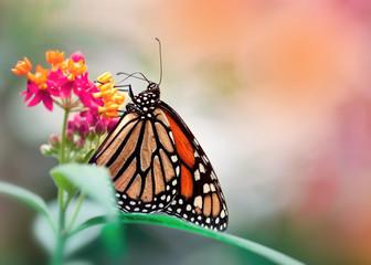 bunter Schmetterling auf Blüte