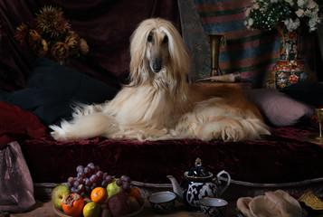 Afghan hound dog in the Arab interior