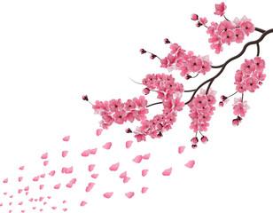 Japanese sakura. Lush the branch of dark pink sakura blossom in the wind . Isolated on white background. illustration