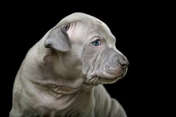 Thai ridgeback puppy isolated on black