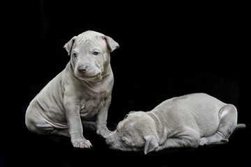 Two thai ridgeback puppies isolated on white