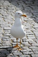 A big sea gull in Porto, Portugal