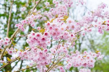 Blooming pink cherry tree flowers in spring