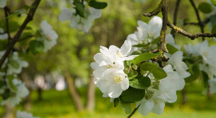 Floral background with Branch of Apple flowers closeup