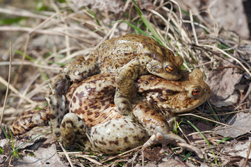 Tired frog - mating of toads
