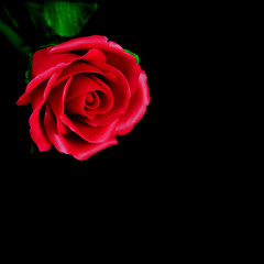 Red rose concept.