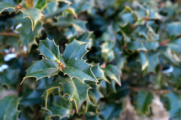 Close-up of holly leaves