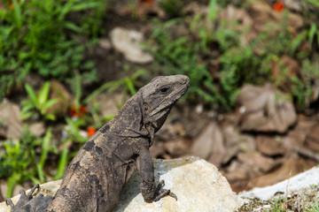 Iguana ad El Rey
