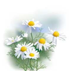 Chamomile - Herbs - Matricaria chamomilla, an aromatic wild flower, used as tea ingredient in herbal medicine. Hand drawn realistic vector illustration.