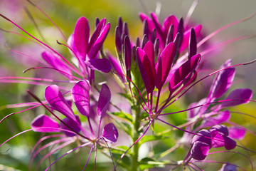 Spider lily Cleome hassleriana. Pink flower growing wild. Floral motif for a greeting card or background. Summer. Nature. Close up. Blooming plant. photo, art, artwork, design, romantic print. Macro