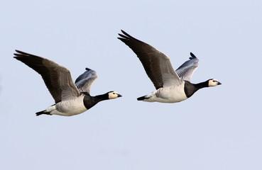 Two European Barnacle Geese (Branta leucopsis) in fast flight