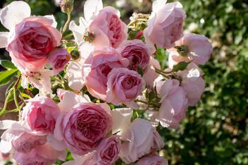 цветущая в саду роза Уильям Моррис
