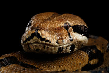 Close-up head of Boa constrictor snake imperator color,lying on isolated black background with reflection