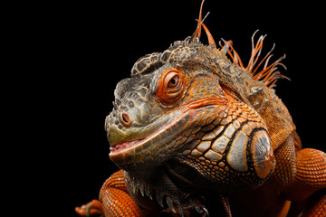 Close-up Head smiling Reptile, Orange green iguana isolated on black background, funny animal