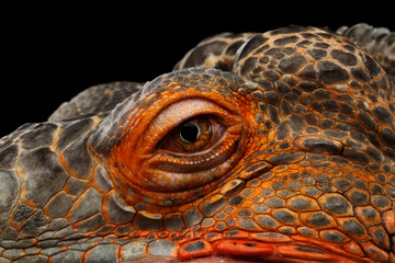 Close-up Eyeball of dragon head, Orange green iguana reptile isolated on black background