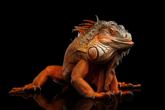 Shy animal, Orange green iguana reptile isolated on black background with reflection