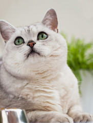 Closeup portrait of a cute light-grey cat with green eyes looking up at his master. Veterinary concept