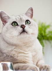 Lovely light shorthair British cat with green eyes on a white background close-up. Veterinary concept and ecology of human relationships