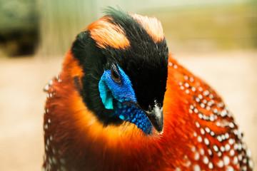 Tragopan Pheasant portrait view