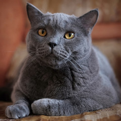 A blue British Shorthair cat