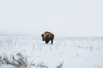"Bison on a background of mountains  at winter and ""the Great Salt Lake."" Utah, Park ""Antelope Island"""