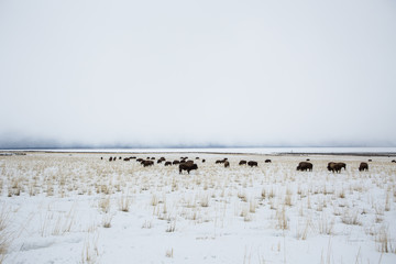 """Bison on a background of mountains and """"the Great Salt Lake."""" Utah, Park """"Antelope Island"""""""