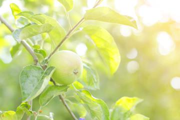 apple garden on a sunny summer day