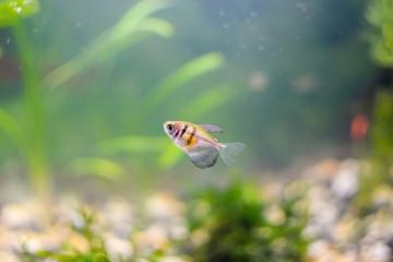 A curious little fish swimming in an aquarium.