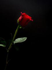 Long stem red rose on black background