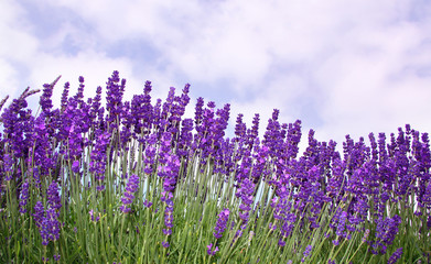 Garden flowers Lavender over cloudy sky background