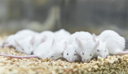 Laboratory white mice were breded in the cage
