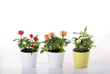 Three miniature rose plant