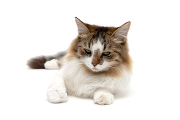 fluffy cat close up on a white background