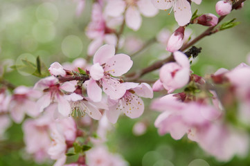 Cherry Blossom with Soft focus and color filter, Sakura season Background.