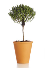 Potted thyme plant. Tree shaped thyme in flower pot isolated on white background