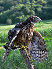 A young hawk waving its wings while standing on the trunk of an old tree