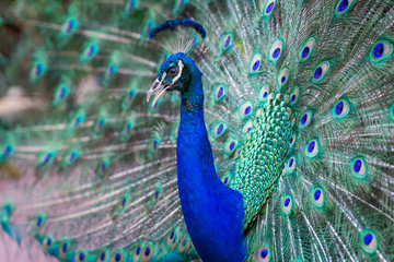 Close up of beautiful male peacock with feathers